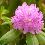 Rhododendron herbstblühender Zimmerpflanze beliebte Gartenpflanze