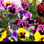 Stiefmütterchen Pflanzenhof Veilchengewächse Zimmerpflanzen